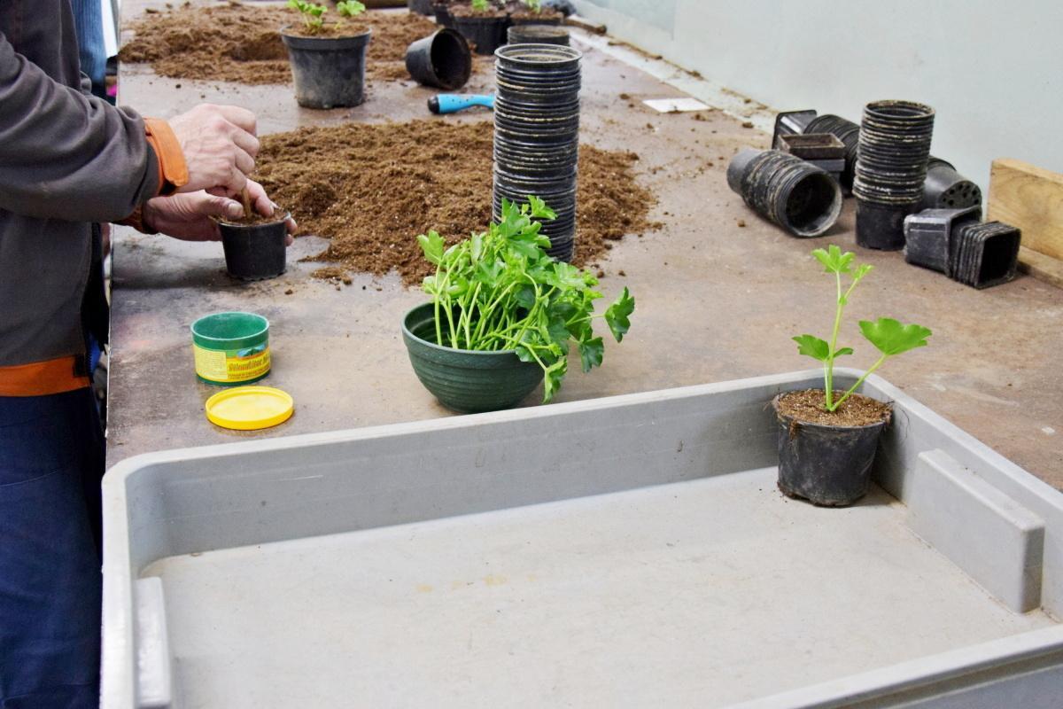 obr: Techničiari v skleníku rozmnožili päťtisíc kusov muškátov