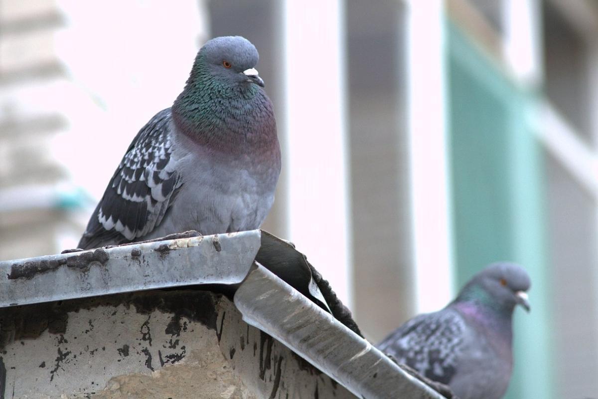 obr: Za prikrmovanie mestských holubov hrozí pokuta